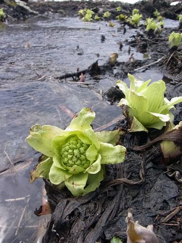 バッケの花咲く季節です_f0236291_6151137.jpg