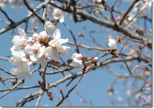 今日も桜♪_b0067598_21334930.jpg