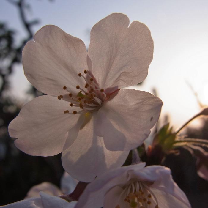 春らんまん♪ by CX5 & GRD3_c0049299_22172741.jpg