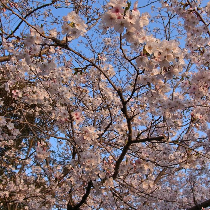 春らんまん♪ by CX5 & GRD3_c0049299_2218686.jpg