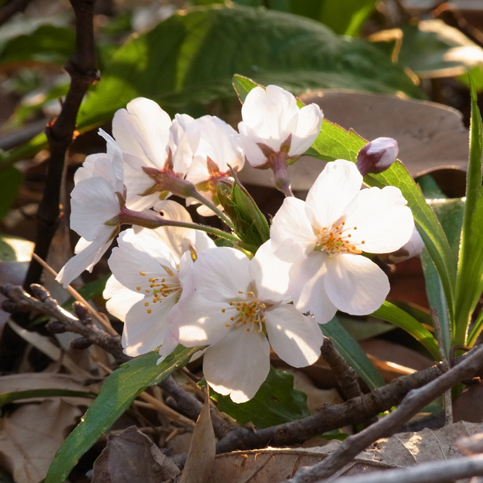 春らんまん♪ by CX5 & GRD3_c0049299_2220142.jpg