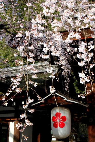 平野神社 魁さくら_e0048413_2232420.jpg