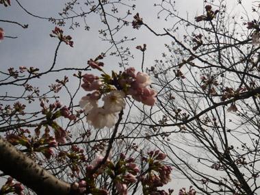 桜開花_c0237135_23422666.jpg