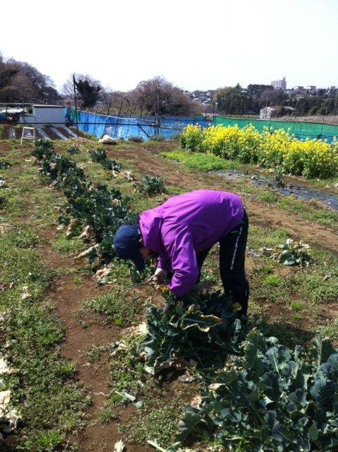 ブロッコリーや芽キャベツも最後の収穫に入ります_c0222448_19344585.jpg