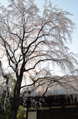枝垂れ桜が咲いています。_a0133859_16303214.jpg