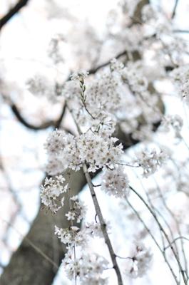 枝垂れ桜が咲いています。_a0133859_16321890.jpg