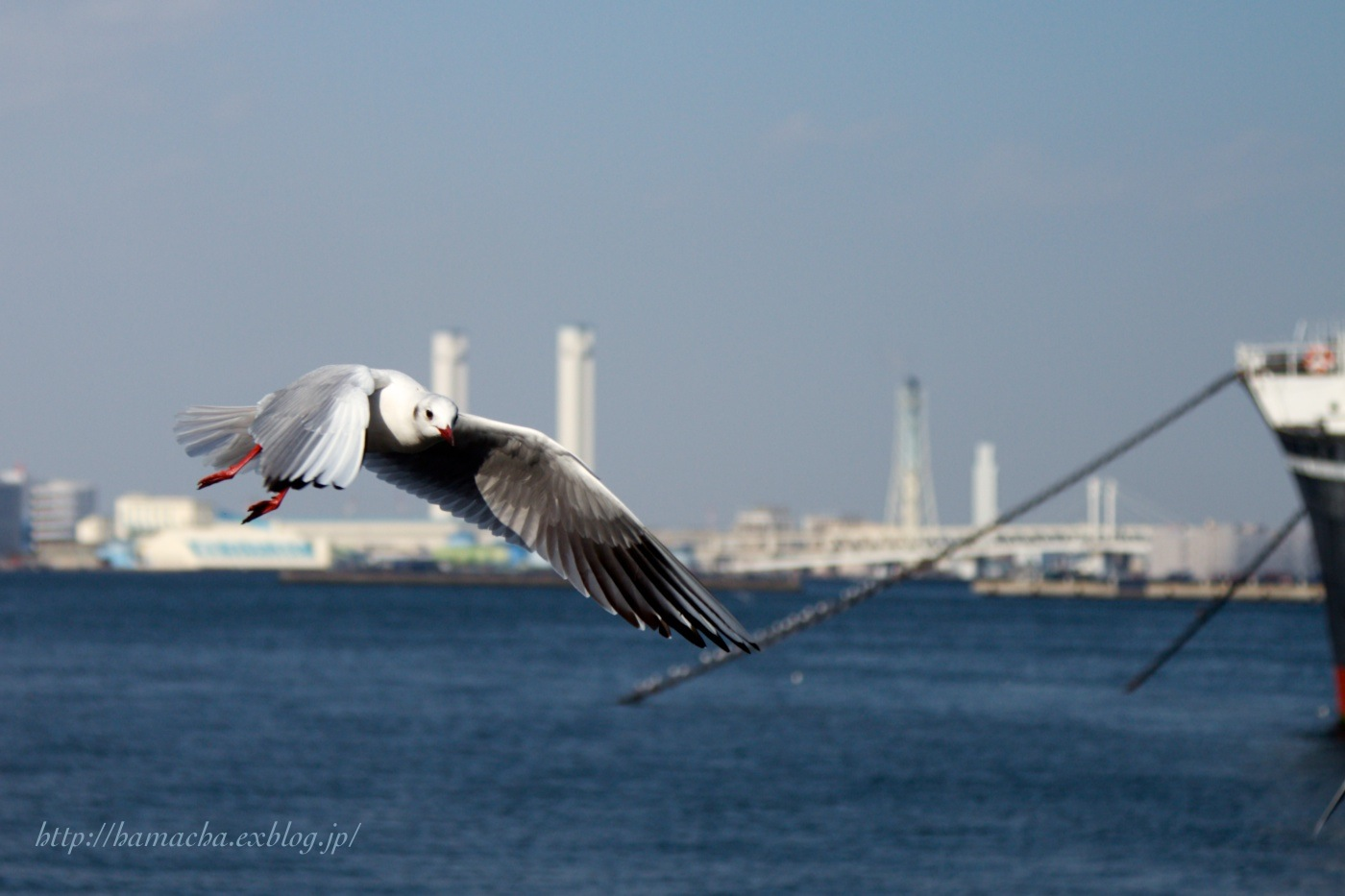 Seagull at the port of Yokohama_c0158775_2161298.jpg