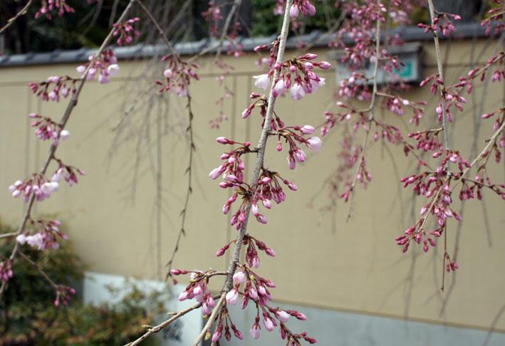 昨日のお詫びと糸桜_b0145296_718416.jpg