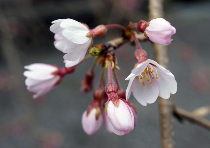 昨日のお詫びと糸桜_b0145296_7185879.jpg