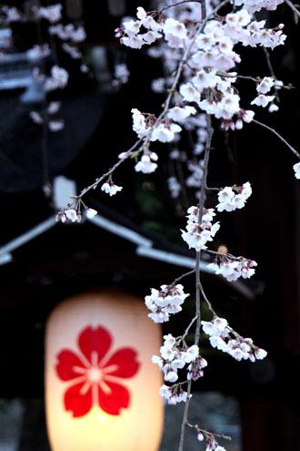 平野神社 魁さくら  ライトアップ _e0048413_11222459.jpg
