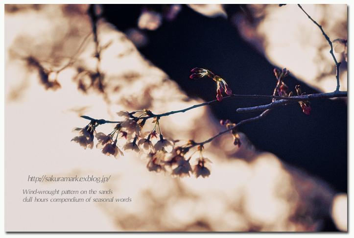 SAKURA 2012 ~夕暮れの頃に輝く~_f0235723_1632217.jpg