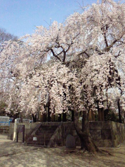 増上寺のしだれ桜_e0237625_2124025.jpg