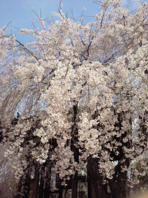 増上寺のしだれ桜_e0237625_2161195.jpg