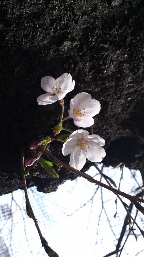 桜が咲きました_c0248464_1621429.jpg