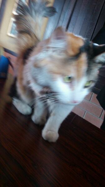 三毛猫の『ニタマ』_d0249867_19425648.jpg