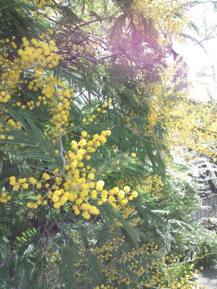 minosa is spring flower!_b0195783_9523027.jpg