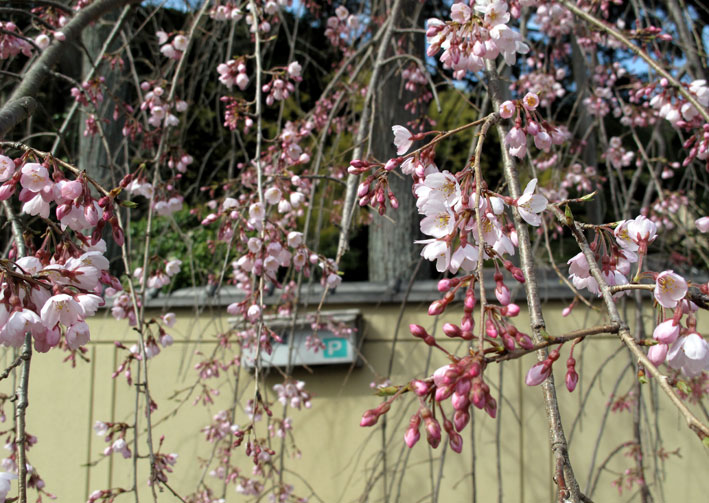糸桜と温泉桜_b0145296_6584519.jpg