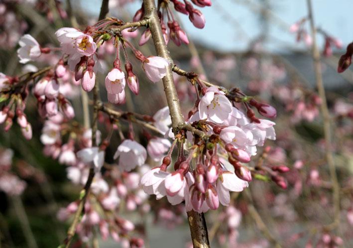 糸桜と温泉桜_b0145296_711775.jpg