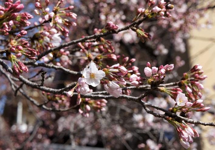 糸桜と温泉桜_b0145296_72141.jpg