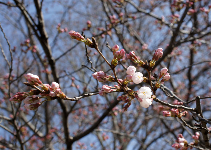 糸桜と温泉桜_b0145296_735370.jpg
