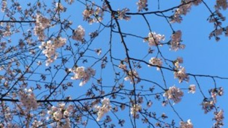 桜を眺めて、お散歩_d0018315_19224888.jpg