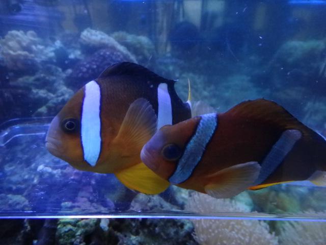 120404 海水魚・水草・淡水魚_f0189122_1361556.jpg