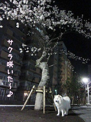 夜桜散歩_c0062832_5375243.jpg
