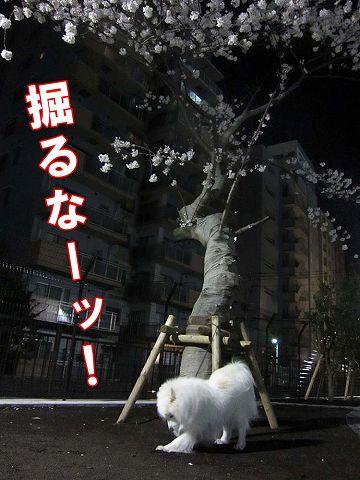 夜桜散歩_c0062832_5375736.jpg