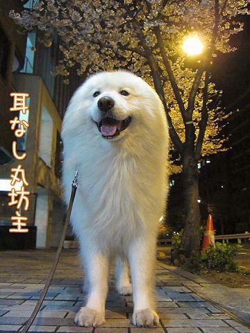 夜桜散歩_c0062832_5381584.jpg