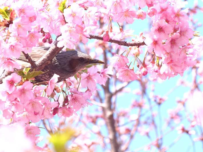 ヒヨドリと桜_d0149245_19232467.jpg