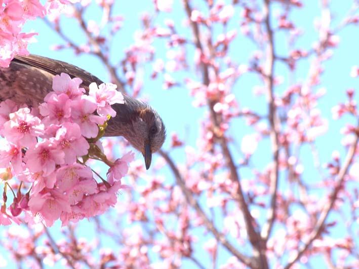 ヒヨドリと桜_d0149245_19233682.jpg