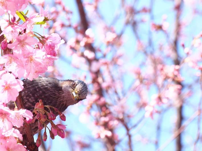 ヒヨドリと桜_d0149245_1923456.jpg