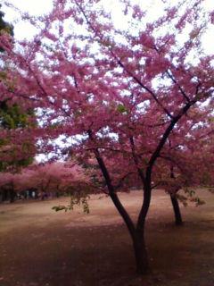 やっと咲きました。「桜」_f0138653_15432319.jpg