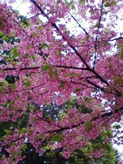 やっと咲きました。「桜」_f0138653_15433829.jpg