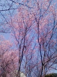 やっと咲きました。「桜」_f0138653_15441960.jpg