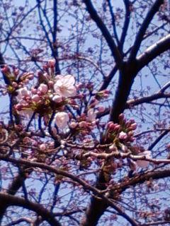 やっと咲きました。「桜」_f0138653_1544283.jpg