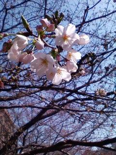 やっと咲きました。「桜」_f0138653_15444818.jpg