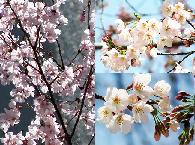 花に嵐のたとえもあるが、、_c0167961_1441087.jpg