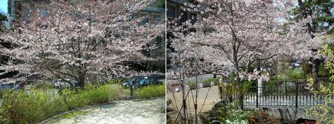 散歩を楽しく/清水谷公園の桜_d0183174_18494351.jpg