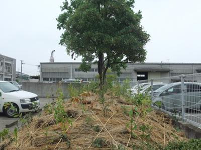 植樹のその後「2年6ヶ月の姿」_b0186205_1543312.jpg