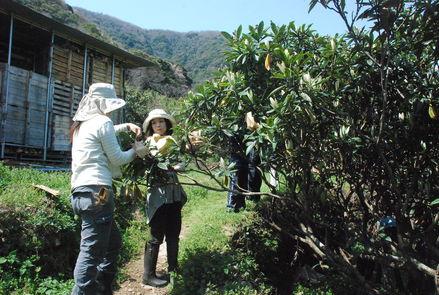 桜が満開の小坂農園でビワの袋かけが始まりました_d0174710_2118083.jpg
