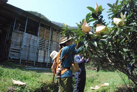 桜が満開の小坂農園でビワの袋かけが始まりました_d0174710_2119314.jpg