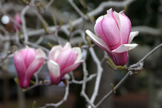 京都御苑 モクレンも咲いた_e0048413_21223024.jpg