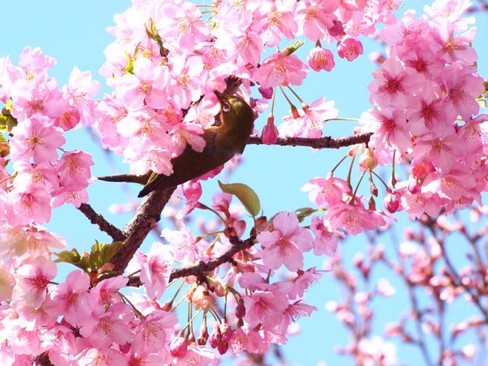 メジロと桜_d0149245_15454285.jpg