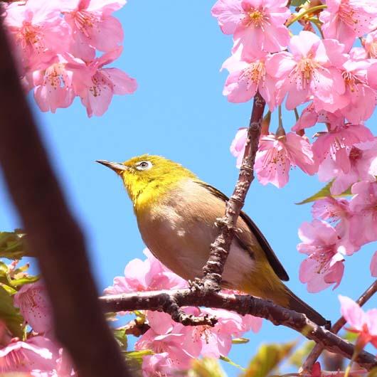 メジロと桜_d0149245_15455481.jpg