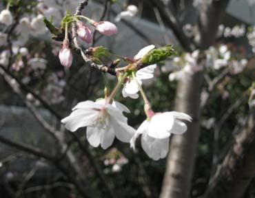 桜便り_f0061394_17504844.jpg
