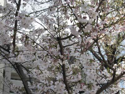桜便り_f0061394_17522445.jpg