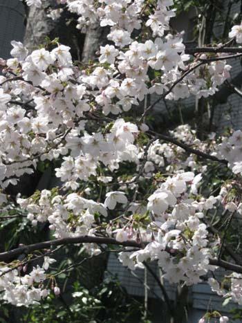 桜便り_f0061394_1753149.jpg