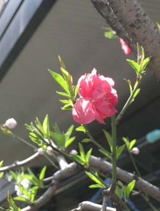 桜便り_f0061394_17553151.jpg