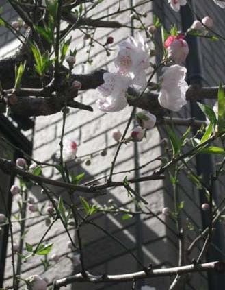 桜便り_f0061394_17553842.jpg